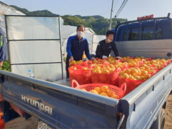성주군사진(참외따기 농촌일손돕기-금수면2).jpg